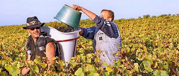 hand harvesting in the Loire Valley vineyards