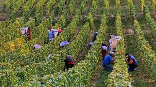 participate in grape harvest in the Loire Valley