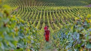 walking in the heart of the Loire Valley vineyards